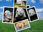 Foto Bulldog Inglês, Filhote