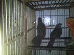 Foto Vendo filhote femea de trinca ferro com 3 meses.