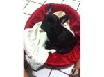 Foto Vendo filhote de bulldog Francês