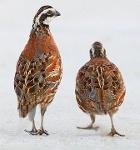 Foto Ovos Galados De Bobwhite - Dúzia