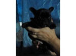 Foto Vendo lindo filhote de bulldog francês macho...