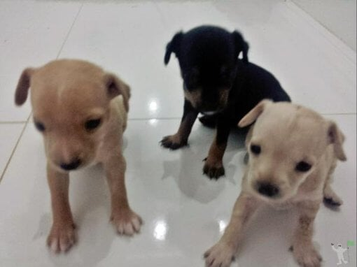 Pinscher 3 filhote