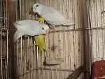 Foto Forpus coelestis branco americano azul cinza