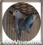 Foto Animais pássaros vender animais pássaros casal de