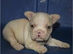 Foto Filhote de bulldog frances