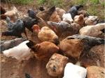 Foto Ovos galados galinhas caipiras pesadas