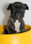 Foto Filhote de Bulldog Francês!